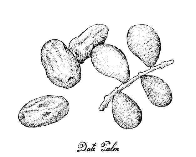 Hand gezeichnet von dattel-früchten