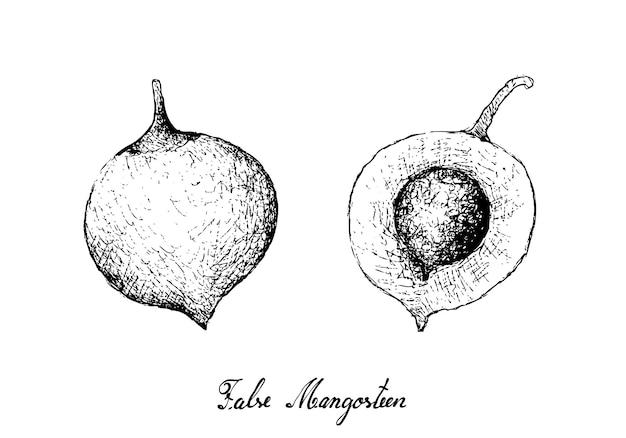 Hand gezeichnet von den falschen mangostanfrüchten