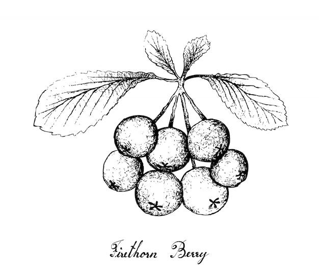 Hand gezeichnet von den firethorn-beerenfrüchten auf weißem hintergrund