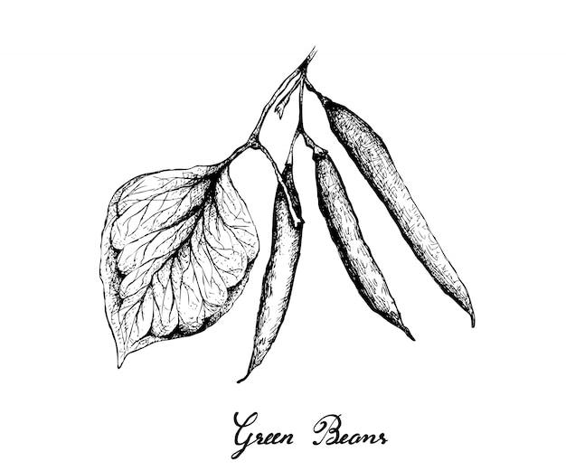 Hand gezeichnet von den köstlichen frischen grünen bohnen