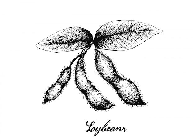 Hand gezeichnet von den köstlichen frischen grünen sojabohnen