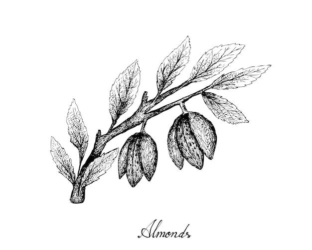 Hand gezeichnet von den mandeln auf einem zweig