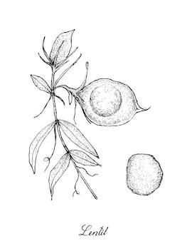 Hand gezeichnet von der frischen linsen-hülse auf baum