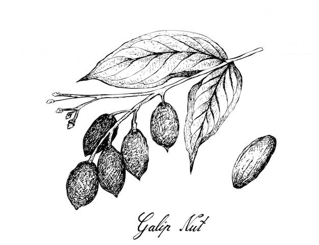 Hand gezeichnet von der galip-nuss auf einer niederlassung