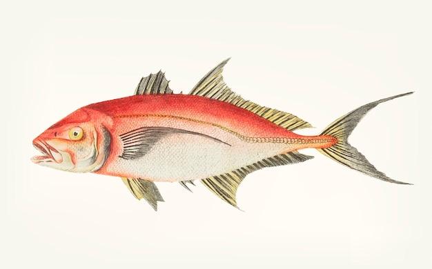 Hand gezeichnet von der roten makrele