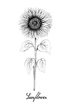 Hand gezeichnet von der sonnenblume