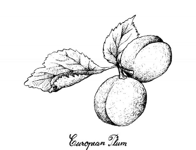 Hand gezeichnet von europäischen pflaumenfrüchten auf weißem hintergrund