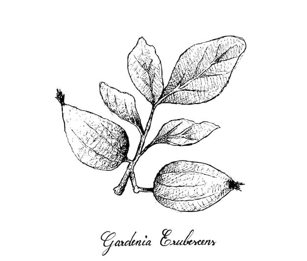 Hand gezeichnet von gardenia erubescens fruits auf baumast