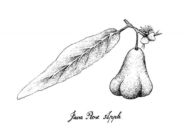 Hand gezeichnet von java rose apple auf weißem hintergrund