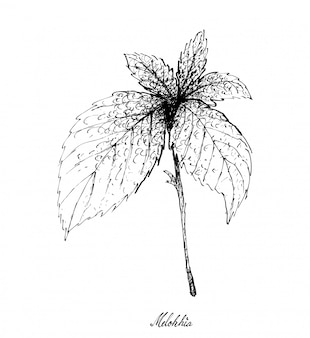 Hand gezeichnet von melokhia auf weißem hintergrund