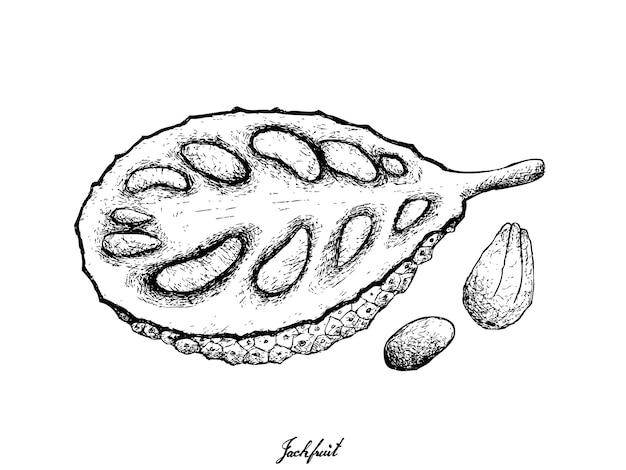 Hand gezeichnet von reifer jackfrucht