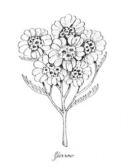 Hand gezeichnet von schafgarbe und yao choy