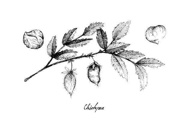 Hand gezeichnet von schote von kichererbsen auf einer pflanze