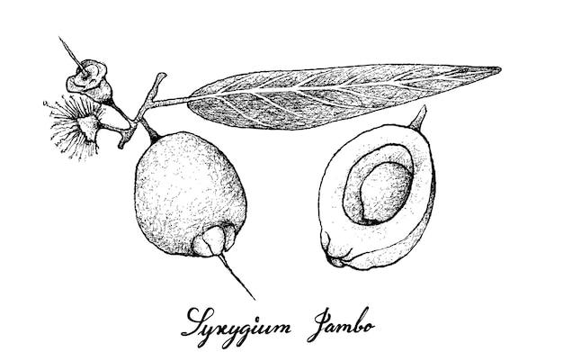 Hand gezeichnet von syzygium jambos-früchten auf weißem hintergrund