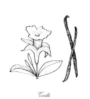 Hand gezeichnet von vanilleblume und -hülsen