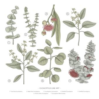 Hand gezeichnete botanische illustrationen des eukalyptuszweigs.