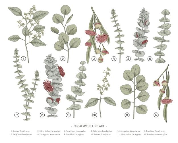 Hand gezeichnete botanische illustrationen des eukalyptuszweigs. Kostenlosen Vektoren