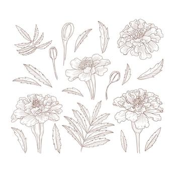 Hand gezeichnete botanische skizze von ringelblumenblumen und -blättern Premium Vektoren