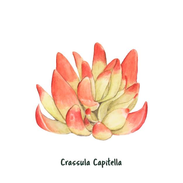 Hand gezeichnete crassula capitella succulent