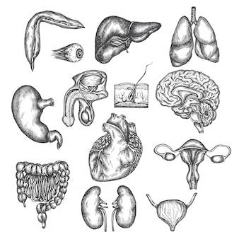 Hand gezeichnete darstellung der menschlichen organe inneres organ, haut und auge. vektorskizze lokalisierte illustration. anatomie eingestellt. medizinische bilder.