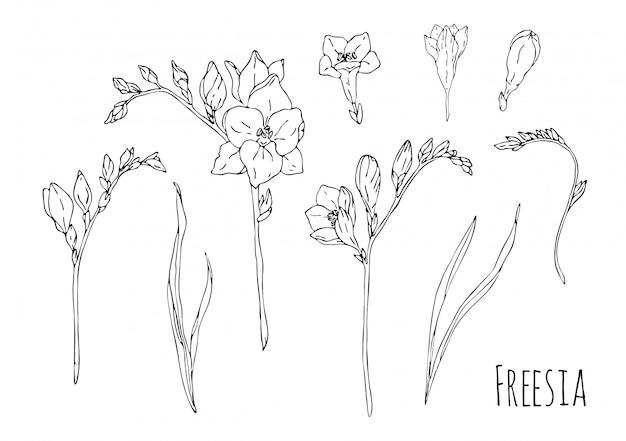 Hand gezeichnete freesiensatzillustration auf weißem hintergrund. schwarzweiss-skizzenliner.