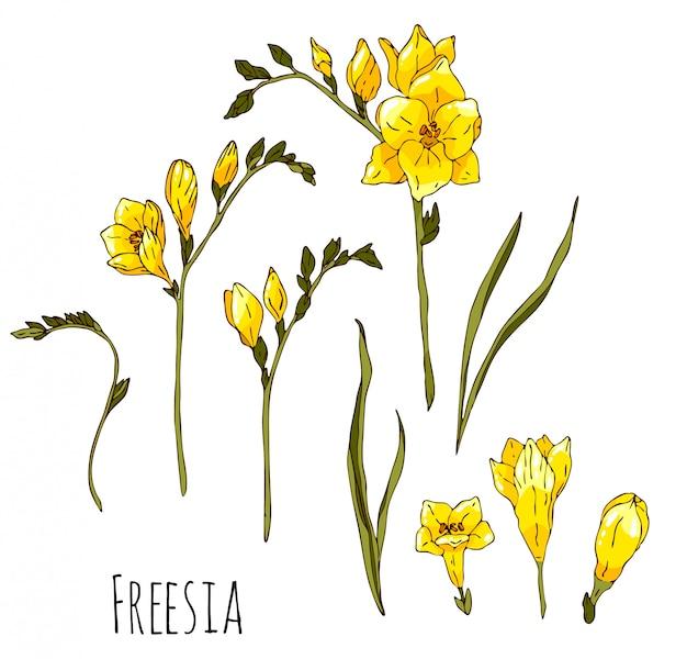 Hand gezeichnete gelbe freesiensatzillustration lokalisiert auf weißem hintergrund.