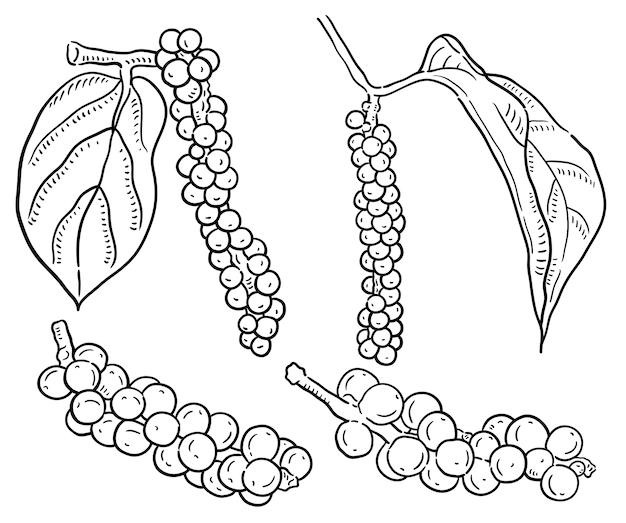 Hand gezeichnete illustration von pfefferkörnern.