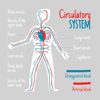 Hand gezeichnete infografik des kreislaufsystems