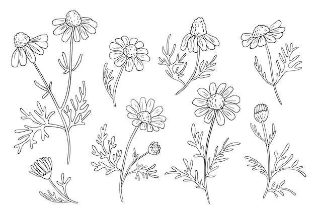 Hand gezeichnete kamillenzweige. botanische skizze.