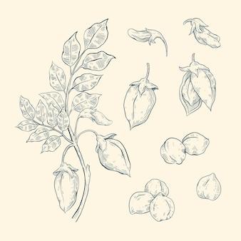 Hand gezeichnete kichererbsenbohnen mit pflanze