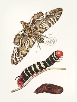 Hand gezeichnete metamorphose der maniok sphinx