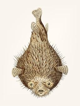 Hand gezeichnete porcupine fische