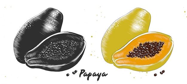 Hand gezeichnete radierungsskizze der papaya