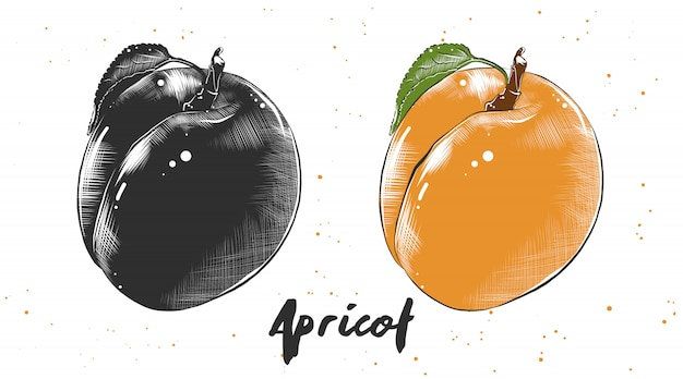 Hand gezeichnete skizze der aprikose