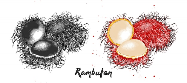Hand gezeichnete skizze der rambutanfrucht