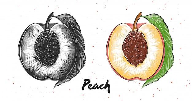 Hand gezeichnete skizze des pfirsiches