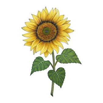 Hand gezeichnete sonnenblumenzeichnungsillustration lokalisiert