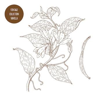Hand gezeichnete vanillezweigillustration