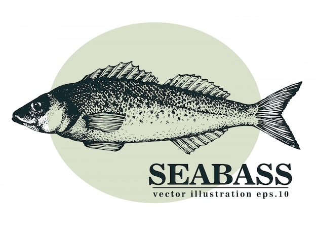 Hand gezeichnete vektorillustration von seebarschfischen.