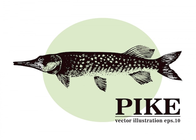 Hand gezeichnete vektorillustration von spießfischen.