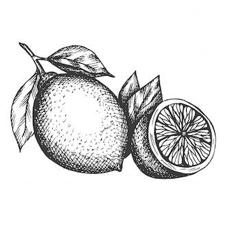 Hand gezeichnete zitronenillustration im weinlesestil