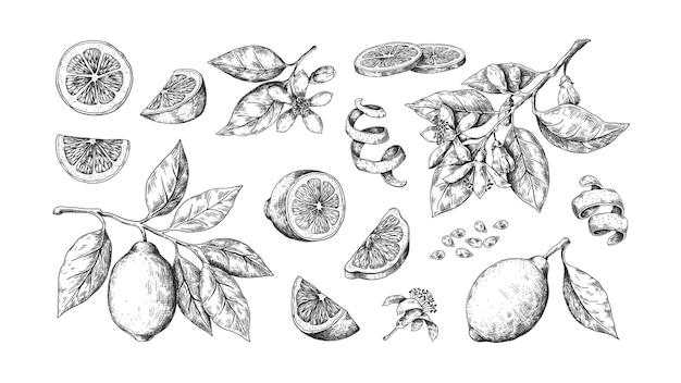 Hand gezeichnete zitronenillustration