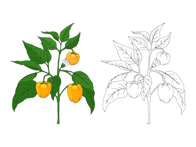 Hand gezeichneter pfefferbusch. schwarzweiss-umriss und farbe. isoliertes bild auf weiß.
