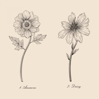 Hand gezeichneter schöner botanischer blumenanemonen- und -gänseblümchenvektorillustrationssatz der weinlese