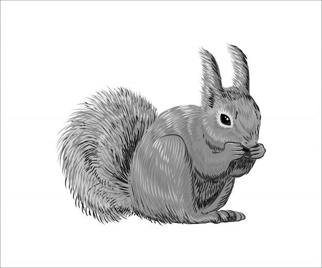 Hand gezeichnetes eichhörnchen, das nuss isst. retro realistische tier isoliert.