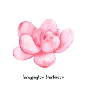 Hand gezeichnetes pachyphytum bracteosum succulent