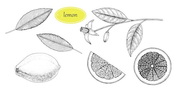Hand gezeichnetes zitronenset. ganze zitrone, geschnittene stücke, halbe skizze. fruchtgravurartillustration. detaillierte zitruszeichnung. ideal für wasser, saft, detox-getränk, tee, naturkosmetik.