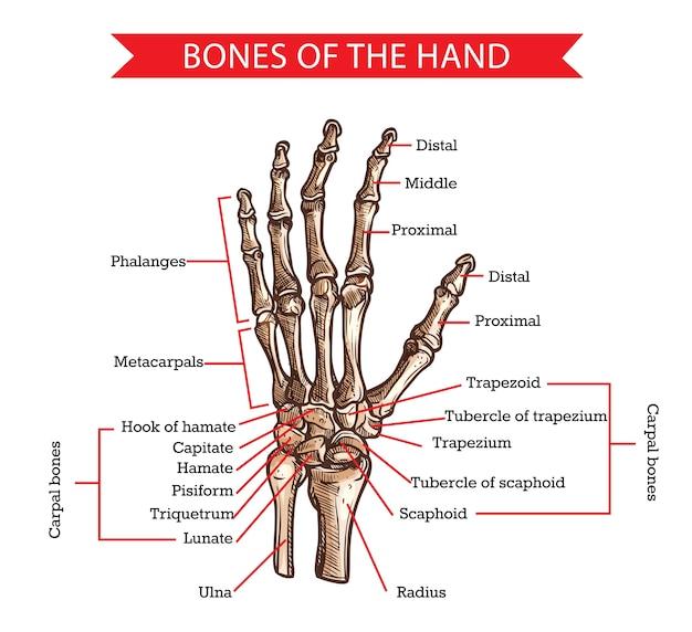 Hand- und handgelenksknochenskizze der menschlichen anatomie und medizin. hand gezeichneter arm des skeletts mit radius, ulna, finger phalangen und handflächenmetakarpalen, trapez-, skaphoid- und handwurzelknochen