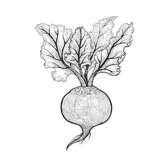 Hand zeichnen gemüse rüben.