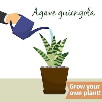 Handbewässerung agave pflanze